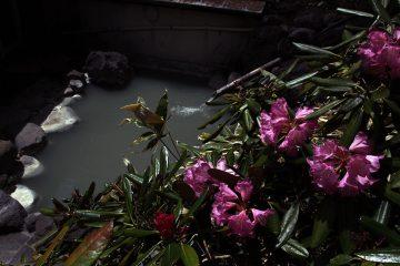 風呂シャクナゲ